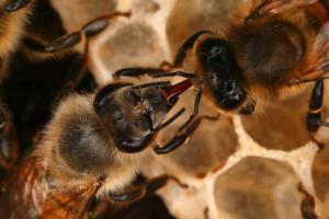 Honey Bee Transfer Nectar