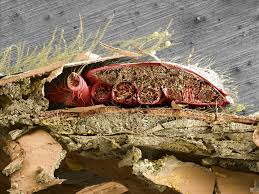 Varroa Destructor Mite